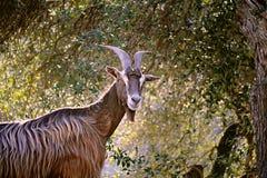 Corsican mountain goat Stock Photo