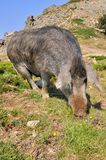 Corsican pig Stock Images