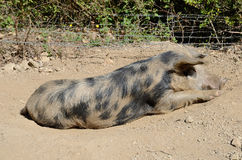 Corsican pig resting Royalty Free Stock Image