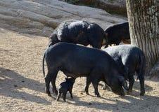 Corsican pigs Stock Photo
