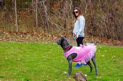 Corso тросточки 9 месяцев mastiff старого итальянский в платье Стоковое Изображение