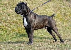 Итальянка corso тросточки собаки Стоковая Фотография