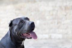 Corso canne черной собаки перед каменной стеной Стоковое Изображение