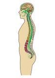 Corso del nervo del corpo umano Fotografie Stock