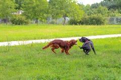 Corso des Irischen Setters und des Stocks spielen im Sommerstadtpark Zwei Hunde Lizenzfreies Stockbild