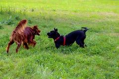 Corso des Irischen Setters und des Stocks spielen im Sommerstadtpark Zwei Hunde Lizenzfreie Stockfotografie