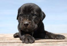 Corso do bastão do filhote de cachorro foto de stock royalty free