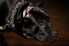 Corso italiano del bastón del perro grande Foto de archivo libre de regalías