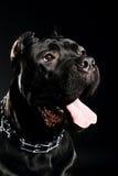 Corso italiano della canna del grande cane Fotografie Stock