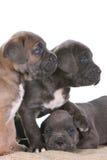 Corso italiano della canna del mastiff del cucciolo Immagini Stock