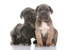 Corso italiano della canna del mastiff del cucciolo Immagine Stock Libera da Diritti