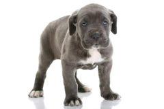 Corso italiano do bastão do mastiff do filhote de cachorro Imagens de Stock