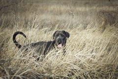 Corso joven del bastón en la hierba seca Fotografía de archivo