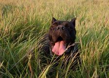 Cão preto que descansa na grama foto de stock