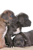Corso van het de mastiffriet van het puppy Italiaanse Stock Afbeeldingen
