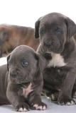 Corso van het de mastiffriet van het puppy Italiaanse Stock Foto