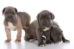 Corso van het de mastiffriet van het puppy Italiaanse Royalty-vrije Stock Afbeelding