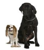 Corso van het riet en het Arrogante de honden van koningsCharles zitten Royalty-vrije Stock Foto