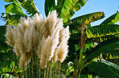 Cortaderia Royalty Free Stock Photography