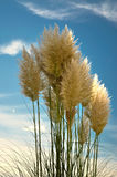 Cortaderia Royalty Free Stock Photo
