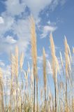 Cortaderia near Loews Coronado Bay Royalty Free Stock Photos