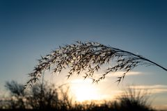 Cortaderia selloana与美好的日落的蒲苇在背景中 图库摄影