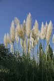 Cortaderia Selloana Royalty Free Stock Image