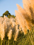 Cortaderia selloana background. Pampas grass (Cortaderia selloana) in the afternoon with sunlight Stock Photo