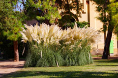 Cortaderia selloana in the Ciutadella Park in Barcelona Royalty Free Stock Images