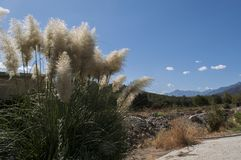 Cortaderia selloana, commonly known as pampas grass. A flowering plant native to southern South America, including the Pampas region after which it is named Royalty Free Stock Image