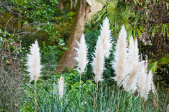 Cortaderia selloana Royalty Free Stock Photo