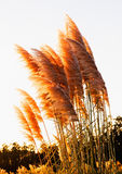 Cortaderia selloana in golden color Royalty Free Stock Photography