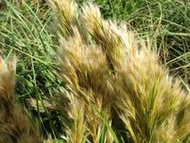 Cortaderia selloana Grass in Miami. Stock Photography