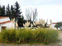 Cortaderia selloana - An invasive plant on a spanish village Stock Image