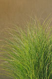 Cortaderia selloana. Macro detail of decorative grass Cortaderia selloana Royalty Free Stock Photo