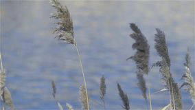 Cortaderia selloana stock footage