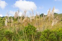 Cortaderia selloana in Pampa field Stock Image