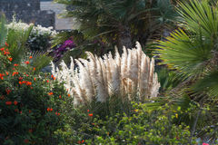 Cortaderia selloana or Pampas grass blowing in the wind.  Stock Image
