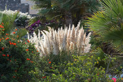 Cortaderia selloana or Pampas grass blowing in the wind.  Royalty Free Stock Images