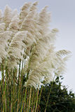 Cortaderia selloana. Pampas grass detail in vertical composition Royalty Free Stock Photos