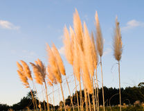 Cortaderia selloana plant. Pampas grass (Cortaderia selloana) in the afternoon with sunlight Stock Photography