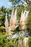 Cortaderia selloana plant (pampas grass). In autumn day Royalty Free Stock Photography