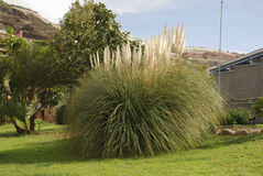 Cortaderia selloana plant with white panicles. Cortaderia selloana plant with white panicles in the flowerbed Stock Images
