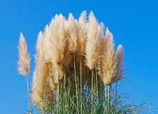 Free Cortaderia Selloana Pumila Silver Yellow Plant Pampas Grass Foliage Stock Photo - 163984360