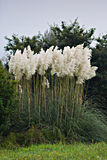 Cortaderia selloana. Tuft of Pampas grass in vertical composition Royalty Free Stock Images
