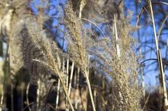 Cortaderia selloana w zimie Fotografia Royalty Free