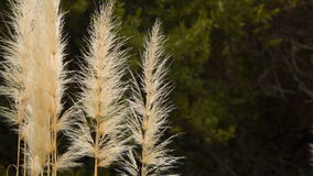 Cortaderiaselloana, bloeit installatie inheems aan zuidelijk Zuid-Amerika stock footage