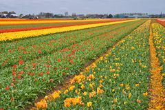 Cortando as cabeças dos tulips Imagem de Stock Royalty Free