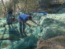 Cortando e recolhendo azeitonas para a produção de extremamente virgem Fotografia de Stock