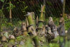 Cortando el árbol de bambú al grupo de bambú imagen de archivo